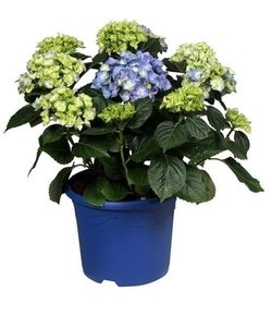 Blue - 10 to 15 buttons in a colored pot - Hydrangea