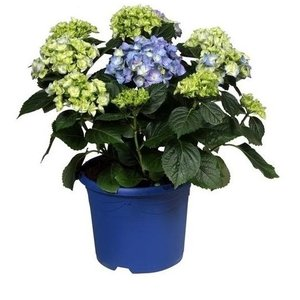 Hydrangea  Blue - 10 to 15 buttons in a colored pot