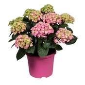 Hydrangea  Pink - 10 to 15 buds in a colored pot
