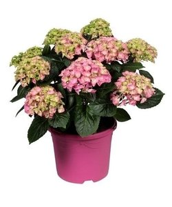 Pink - 10 to 15 buds in a colored pot - Hydrangea