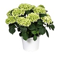 Hydrangea  White -10 to 15 buds in a colored pot