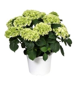 White -10 to 15 buds in a colored pot - Hydrangea