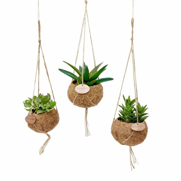 Kokodama Succulent plants mixed 8 types of hang