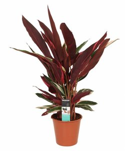 Triostar - Pauwenplant, bidplant