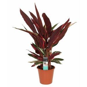 Calathea Pot Triostar 19 cm