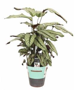 Whitestar - Prayer plants