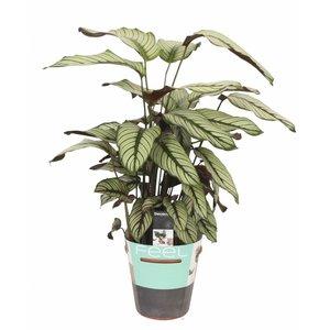 Calathea Whitestar - Topf 19 cm