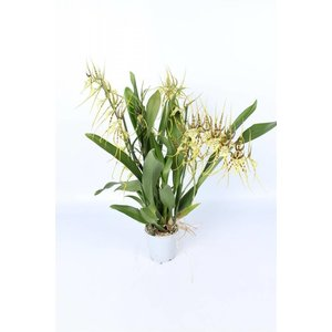 Orchideeën Brassia Eternal Wind 4 branche
