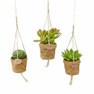 Kokodama Succulents mixed 3 types of hang