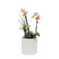 Phalaenopsis 2 tak + nolina in white pot