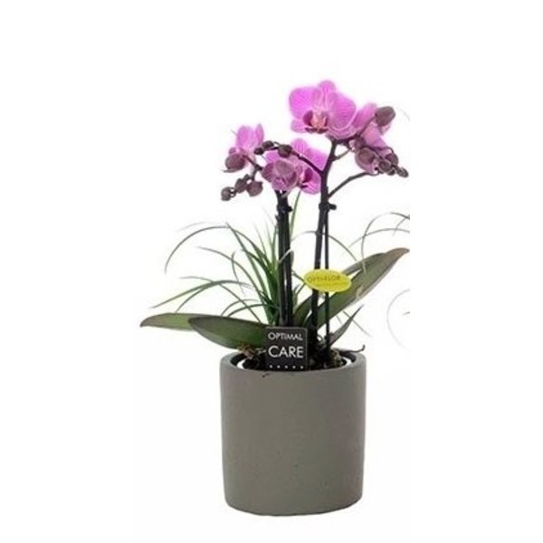 Phalaenopsis 2 tak + nolina in grijze pot