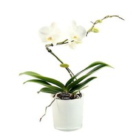 Phalaenopsis 1 branch balletto white