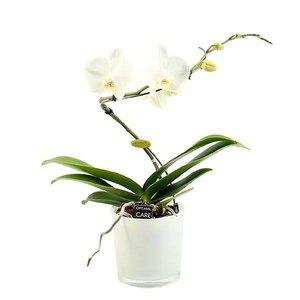 Phalaenopsis 1 branche balletto blanc en verre de couleur