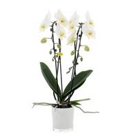Phalaenopsis 2 tak Cascade 12 cm wit