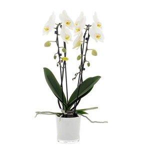 Phalaenopsis 2 Zweig Cascade 12 cm weiße