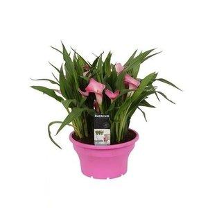 Zantedeschia Calla in bowl 22 cm