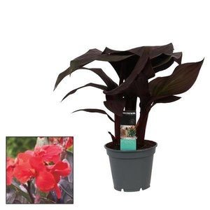 Canna Insel 17cm mit Blume