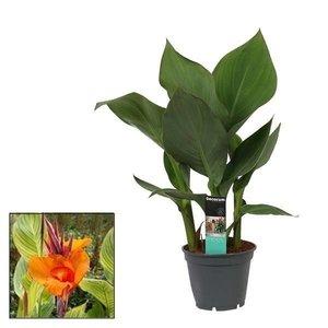 Canna Insel 17cm mit Blume Pretoria