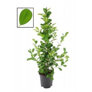 Ficus Microcarpa moclame