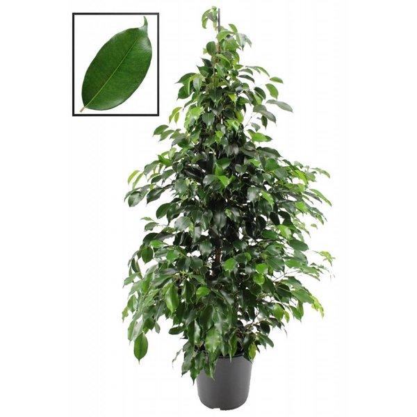 Ficus Benjamina Danielle® XL