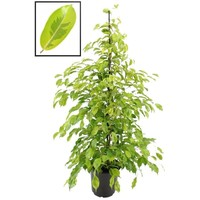 Ficus Benjamina Reginald XL