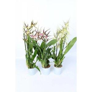 Orchideeën Brassia Mix 2 Zweig