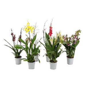 Orchideeën Mix exclusif 2 branches