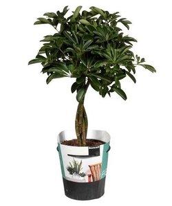 Compacta (nora) braided trunk - Umbrella tree