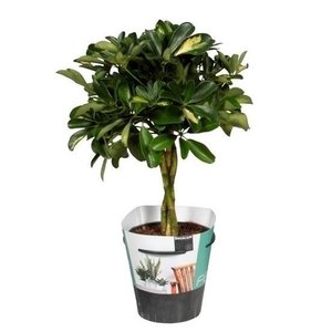 Schefflera Gold capella - braided trunk