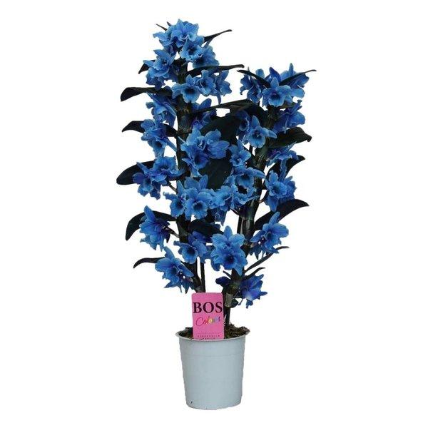Dendrobium Nobilé, Color '' Blue '' 2-branch