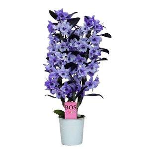 Dendrobium Nobilé, Color '' Purple '' 2 branches