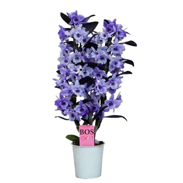 Dendrobium Nobilé, Color '' Purple '' 2-branch