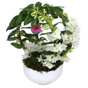 Dendrobium Nobilé, dubbele Boog
