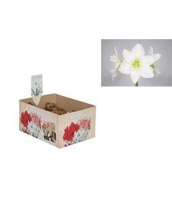 Amaryllis (dry bulb 28/30 cm) White