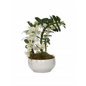Dendrobium Nobilé special boomerang - two plants