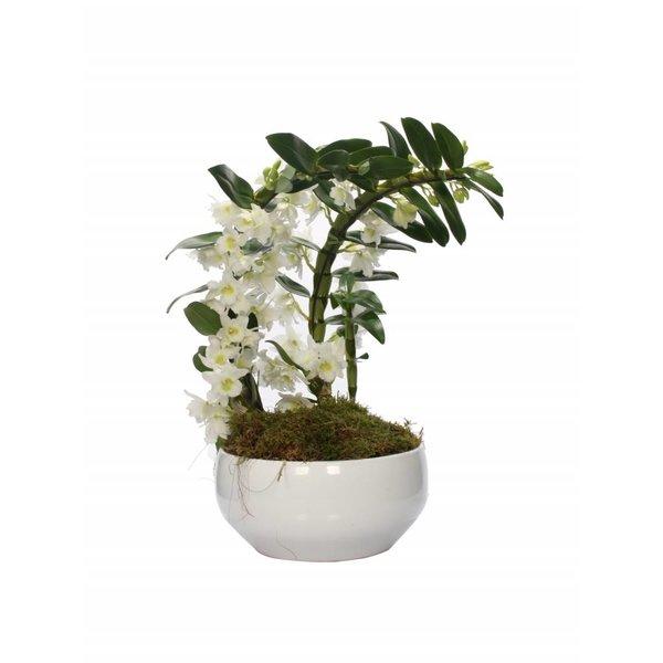 Dendrobium Nobilé special Bumerang - zwei Pflanzen