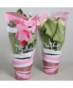 magnifica pinubato 4 bouton dans l'atmosphère pochette cadeau rose