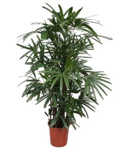 Excelsa 150 cm - Bamboo palm