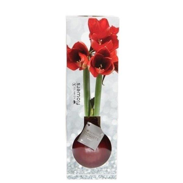 Amaryllis Kein Wasser blüht Waxz® Luxery Box
