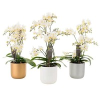 Phalaenopsis Willd white in  keramiek pot
