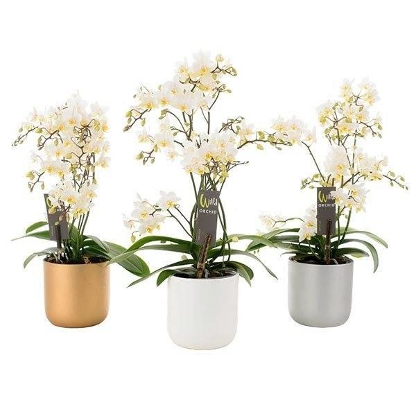 Phalaenopsis Willd white in  keramiek pot