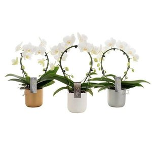 Phalaenopsis Mirror in luxurious ceramic pot