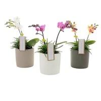 Phalaenopsis Botanico 2 branche mix + senecio en céramique