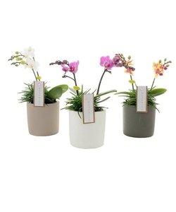 Botanico 2 branch mix + senecio in ceramics