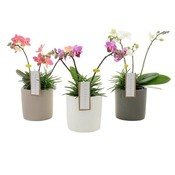 Phalaenopsis Botanico 3 tak mix+senecio in keramiek