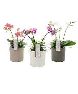 Botanico 3 branch mix + senecio in ceramics