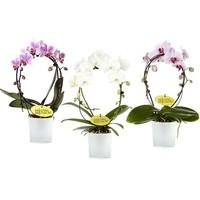Phalaenopsis Mirror - glass pot