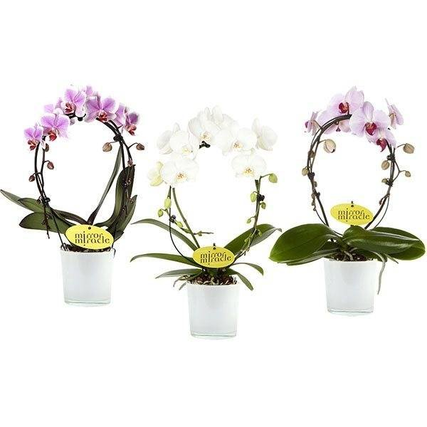 Phalaenopsis Mirror - glass pot