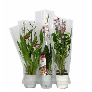 Orchideeën 5 pieces!
