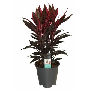 Cordyline Tango - 3 cuttings pot 19 cm